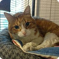 Adopt A Pet :: Cheddar - Hanna City, IL