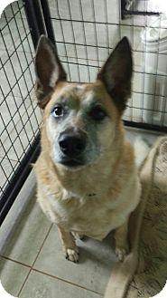 Australian Cattle Dog Mix Dog for adoption in Apache Junction, Arizona - Barley