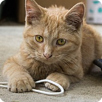 Domestic Shorthair Kitten for adoption in Battle Creek, Michigan - Harry