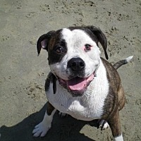 Adopt A Pet :: ZZ-Annie *courtesy post - Rancho Santa Margarita, CA
