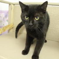 Domestic Shorthair/Domestic Shorthair Mix Cat for adoption in Grand Island, Nebraska - Leo