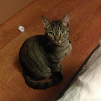 Domestic Shorthair Cat for adoption in Mauldin, South Carolina - Ash