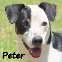 Adopt A Pet :: PETER - Palm Coast, FL