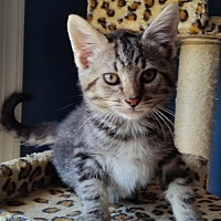Adopt A Pet :: Luke - Loveable - Arlington, VA