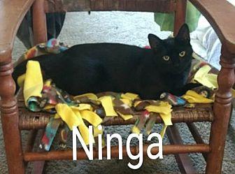 Domestic Shorthair Cat for adoption in Cincinnati, Ohio - zz 'Ninja' URGENT NEEDS HOME SOON courtesy listing