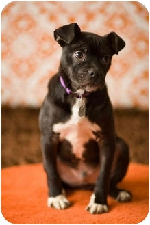 Boston Terrier/Pit Bull Terrier Mix Puppy for adoption in Portland, Oregon - Tim