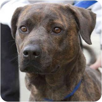 American Pit Bull Terrier Mix Dog for adoption in Berkeley, California - Brett