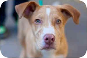 Catahoula Leopard Dog/Labrador Retriever Mix Puppy for adoption in Houston, Texas - Faith