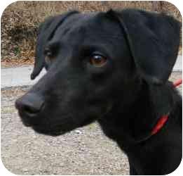 Labrador Retriever/Terrier (Unknown Type, Medium) Mix Dog for adoption in Kansas City, Missouri - Courtesy List-Howie