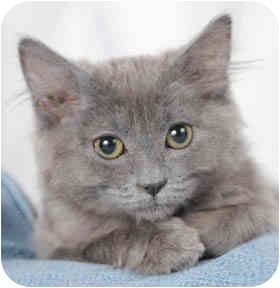 Domestic Mediumhair Kitten for adoption in Chicago, Illinois - Gracie