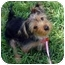 Photo 2 - Yorkie, Yorkshire Terrier Mix Puppy for adoption in Beechgrove, Tennessee - Piper
