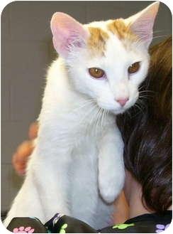 Domestic Shorthair Kitten for adoption in Somerset, Pennsylvania - Bosley