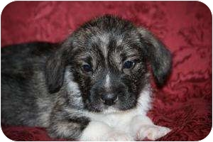 Terrier (Unknown Type, Small) Mix Puppy for adoption in West Milford, New Jersey - SAMPSON
