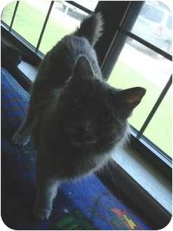 Manx Cat for adoption in Lake Charles, Louisiana - January