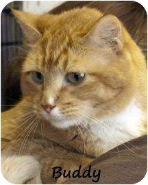 Domestic Shorthair Cat for adoption in Divide, Colorado - Buddy