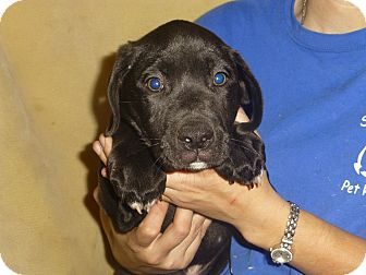 Golden Retriever/Labrador Retriever Mix Puppy for adoption in Oviedo, Florida - Rocky