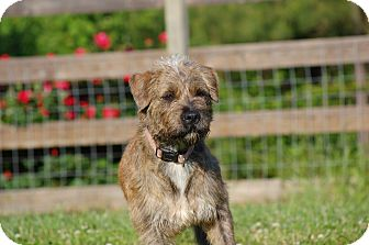 Terrier (Unknown Type, Medium)/Airedale Terrier Mix Dog for adoption in Pittsboro, North Carolina - Mya