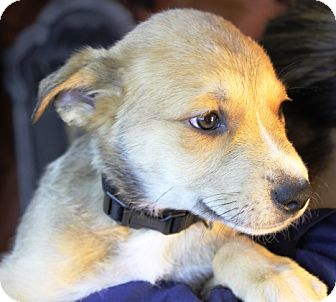 Shepherd (Unknown Type) Mix Puppy for adoption in Westminster, Colorado - Sedona