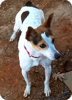 Rat Terrier Dog for adoption in Charlotte, North Carolina - Abby Mae