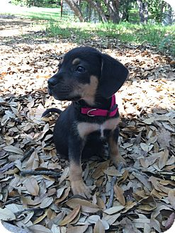 Hound (Unknown Type) Mix Puppy for adoption in Stephenville, Texas - Maggie