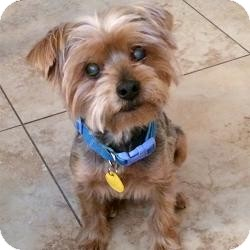 Yorkie, Yorkshire Terrier Dog for adoption in Clearwater, Florida - Bailey