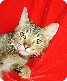 Domestic Shorthair Cat for adoption in Jackson, Michigan - Sally May