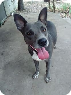 Australian Kelpie/American Pit Bull Terrier Mix Dog for adoption in White Settlement, Texas - Cheyenne