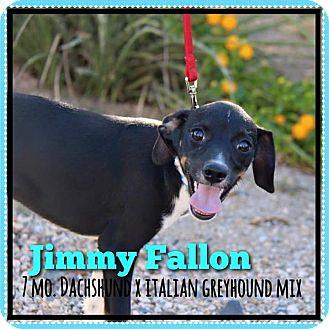 Italian Greyhound/Dachshund Mix Puppy for adoption in Phoenix, Arizona - Jimmy Fallon