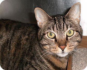 Domestic Shorthair Cat for adoption in El Cajon, California - Patty