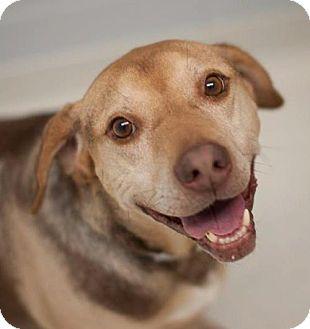 Hound (Unknown Type)/Chesapeake Bay Retriever Mix Dog for adoption in Batavia, Ohio - Luigi