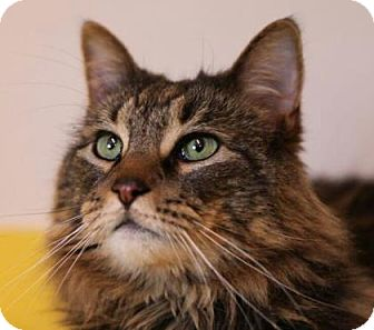Domestic Longhair Cat for adoption in Brimfield, Massachusetts - Panthur