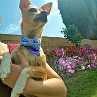 Chihuahua/Jack Russell Terrier Mix Dog for adoption in Redondo Beach, California - Paco loves to play!