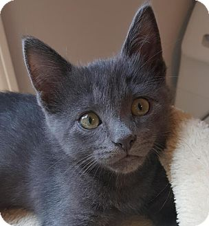Domestic Shorthair Kitten for adoption in Winston-Salem, North Carolina - Spratt