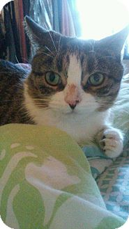 Domestic Shorthair Cat for adoption in Wantagh, New York - Sophie