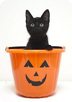 Domestic Shorthair Kitten for adoption in Dublin, California - Speedo