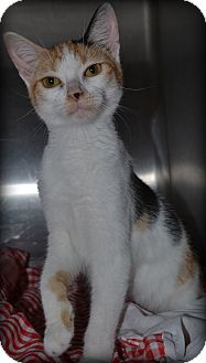 Calico Cat for adoption in Beaumont, Texas - Cersei