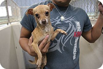 Chihuahua Mix Dog for adoption in Odessa, Texas - A26 Jacob