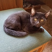 Domestic Mediumhair Kitten for adoption in San Dimas, California - Midnight