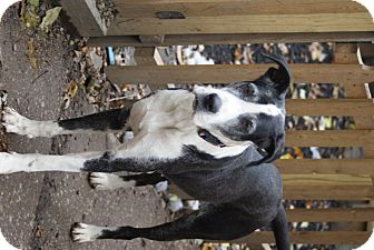 Great Dane Mix Dog for adoption in Baden, Pennsylvania - Lucy