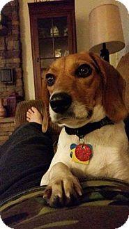 Beagle Dog for adoption in Pataskala, Ohio - Lady (Beagle)