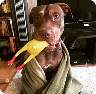 Doberman Pinscher/Labrador Retriever Mix Dog for adoption in Parsippany, New Jersey - Pinto Bean