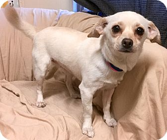 Beagle/Chihuahua Mix Dog for adoption in Phoenix, Arizona - Olive