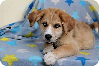 Husky Mix Puppy for adoption in Los Angeles, California - Queen