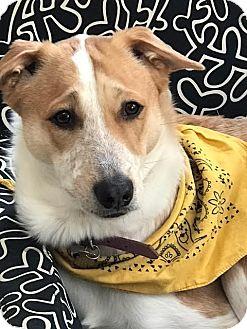 Hound (Unknown Type) Dog for adoption in Monroe, New Jersey - Taj *Indian Pariah Dog*