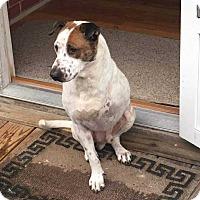 Adopt A Pet :: Arnie - Allen, TX