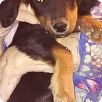 Adopt A Pet :: Indio-ADOPTION PENDING - Boulder, CO