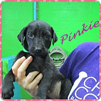 Adopt A Pet :: Pinkie - Oxford, CT