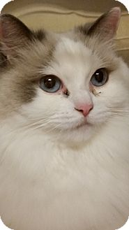 Ragdoll Cat for adoption in Worcester, Massachusetts - Sara