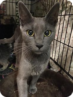 Russian Blue Cat for adoption in East Brunswick, New Jersey - Selma
