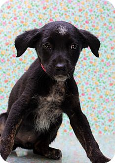 Pointer Mix Puppy for adoption in Waldorf, Maryland - Buffy